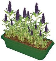Dunecraft Grow Your Own Butterfly Bush Kit