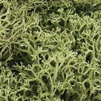 Woodland Lichen Spring Green (1.5 Quarts) Model Railroad Lichen #l161