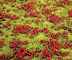Flowering Meadow (red) Ground Cover -- Model Railroad Grass Earth -- #180460