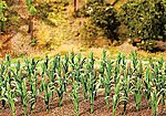 Corn Stalks Kit (36) -- Model Railroad Grass Earth -- #181250