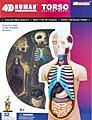 Visible 4D Human Torso Anatomy Kit (4-5/8'')