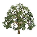 Live Oak -- N Scale Model Railroad Tree -- #94348