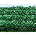 Flowering Hedges -- HO Scale Model Railroad Scenery -- #95515
