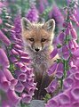 Foxgloves (Fox/Flowers) Paint by Number (20''x16'')