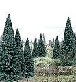 Blue Spruce 4''-6'' (13) -- Model Railroad Tree -- #tr1588