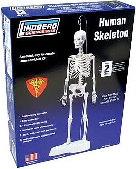 Lindberg 14'' Tall Human Skeleton