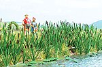 Cattails & Bulrushs (120) -- HO Scale Model Railroad Grass Earth -- #1256