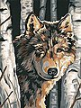 Wolf among Birches -- Paint By Number Kit -- #91325