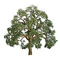 Live Oak Trees -- HO Scale Model Railroad Tree -- #94350