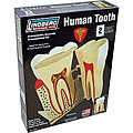 HUMAN TOOTH 8-1